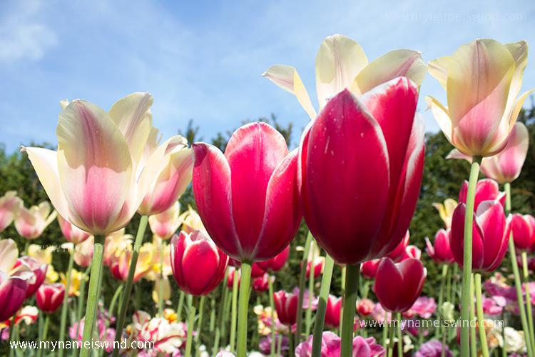 Ogrody Keukenhof – z miłości do tulipana