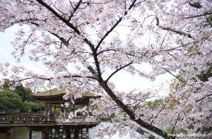 Ciekawostki o kwitnieniu wiśni w Japonii