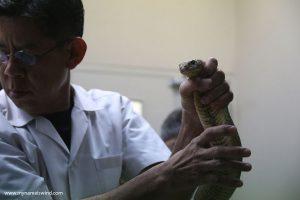 O Taju ugryzionym przez pytona w przyrodzenie i o dojeniu węży słów kilka.